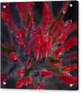 Dyed With Blood Acrylic Print