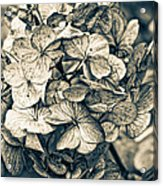 Dying Beauty Black And White Acrylic Print