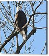 Bald Eagle Sunny Perch Acrylic Print