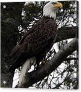 Eagle 9786 Acrylic Print