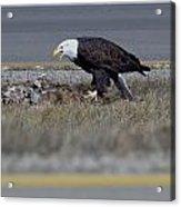 Eagle Feeding Acrylic Print