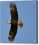 Eagle Flight 4 Acrylic Print