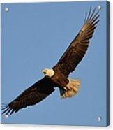 Eagle Flight 5 Acrylic Print