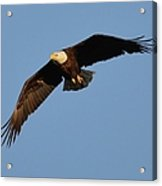 Eagle Flight 6 Acrylic Print