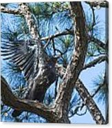 Eagle Flight Prep Acrylic Print