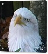 Eagle Head Acrylic Print