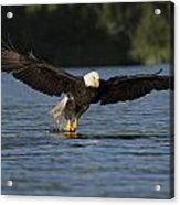 Eagle In Action Series Acrylic Print
