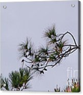 Eagle In The Pines Acrylic Print