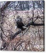 Eagle Landing 1 Acrylic Print