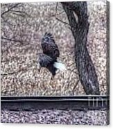 Eagle Landing 2 Acrylic Print