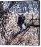 Eagle Landing Acrylic Print