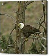 Eagle On A Tree Branch Acrylic Print