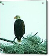Eagle On A Frozen Pine Acrylic Print by Jeff Swan