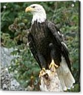 Eagle Perched Atop Stump Acrylic Print