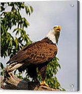 Eagle Portrait IIi Acrylic Print