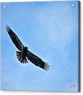 Eagle Soaring Acrylic Print
