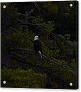 Eagle Splendor Acrylic Print