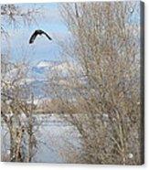Eagle Takes Flight Acrylic Print