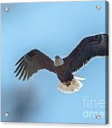 Eagle Through The Trees Acrylic Print