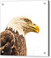 Eagle With Prey Spied Acrylic Print by Douglas Barnett