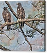 Eaglets In Oil Acrylic Print