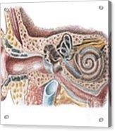 Ear Anatomy Acrylic Print