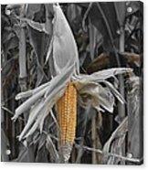 Ear Of Corn Acrylic Print