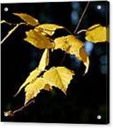 Early Fall Of  Downy Birch Acrylic Print
