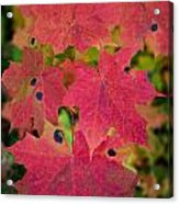 Early Fall Of Norway Maple Acrylic Print
