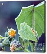 Early Morning Frost Acrylic Print