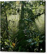 Early Morning Light In The Rain Forest Acrylic Print