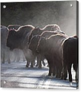 Early Morning Road Bison Acrylic Print