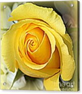 Early Morning Rose Acrylic Print