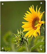 Early Morning Sunflowers Acrylic Print