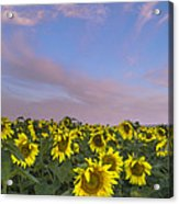 Early Morning Sunflowers Acrylic Print