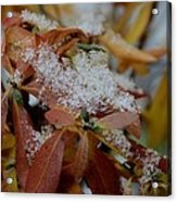 Early Snow On Rhododendron Acrylic Print