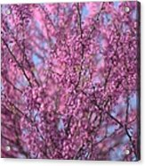 Early Spring Flowering Redbud Tree Acrylic Print