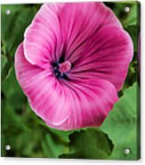 Early Summer Blooms Impressions - Bright Pink Malva - Vertical View Acrylic Print