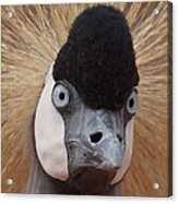 East African Crowned Crane 6 Acrylic Print