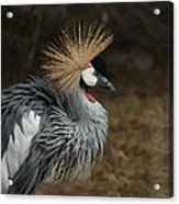 East African Crowned Crane Painterly Acrylic Print