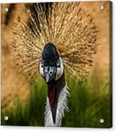 East African Crowned Crane Square Format Acrylic Print