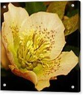 Easter Bloom 2014 Acrylic Print