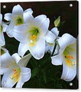 Easter Lilies Acrylic Print