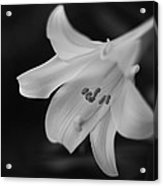 Easter Lily 2013 Acrylic Print