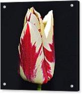 Easter Greetings - Twinkle Tulip Acrylic Print