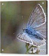 Eastern Baton Blue  Acrylic Print
