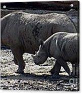 Eastern Black Rhinos Mama N Baby Acrylic Print