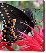 Eastern Black Swallowtail And Bee Balm Acrylic Print