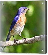 Eastern Bluebird - After His Bath Acrylic Print