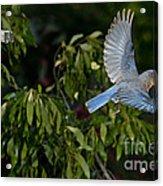 Eastern Bluebird Acrylic Print